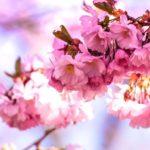 弘前公園2019花見の混雑状況や駐車場は?屋台や開花情報も!