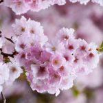 水元公園2019花見の混雑状況や駐車場は?屋台や開花情報も!