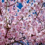 山崎川四季の道2019花見の混雑状況や駐車場は?屋台や開花情報も!