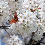蓮華寺池公園2019花見の混雑状況や駐車場は?屋台や開花情報も!