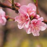 勝山弁天桜2019花見の混雑状況や駐車場は?屋台や開花情報も!