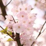 高田公園2019花見の混雑状況や駐車場は?屋台や開花情報も!